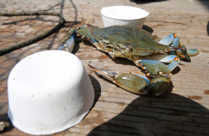 A blue crab hauled out of the Great Wicomico River sits on the deck between two blocks Organobait synthetic bait. Organobait is a calcium-based tablet made with synthetic materials that replicate the smell of decaying fish to attract lobsters and crabs.