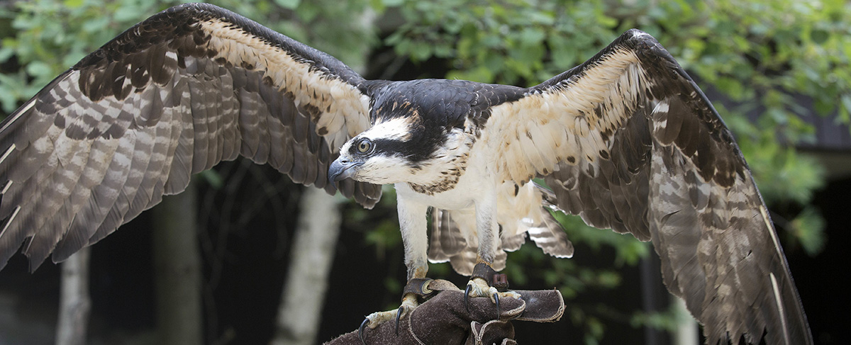 In this photo taken Monday Aug. 15, 2016, a captive Osprey is seen at the Squam Lakes Natural Science Center in Holderness, N.H. Iain MacLeod, a researcher at the center, is using solar-powered satellite transmitters attached to the backs of juvenile and adult Ospreys to track the international migrations of birds nesting in the Northeast. (AP Photo/Jim Cole)