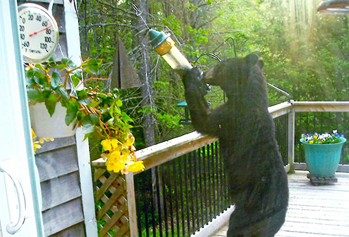 Yvonne Dickson says the bear waited out a police officer's visit and was back pilfering a bird feeder minutes later.