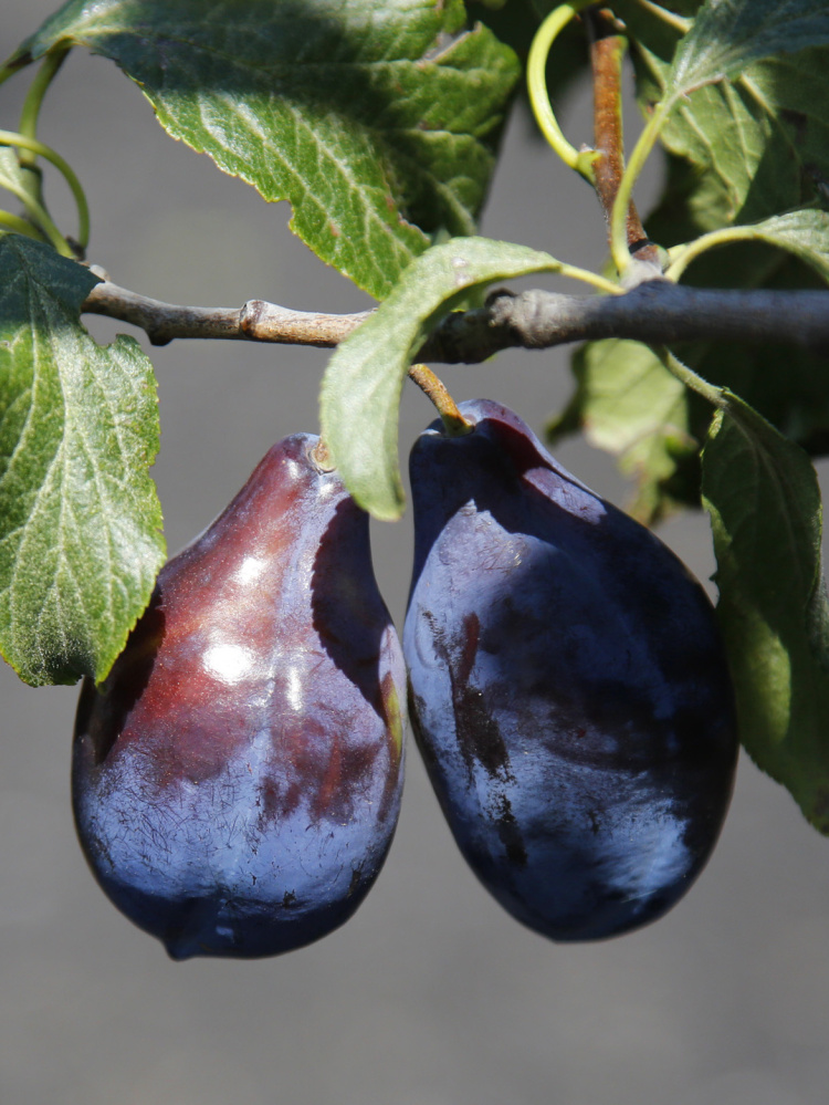 Two different varieties of plums grow on a single tree.