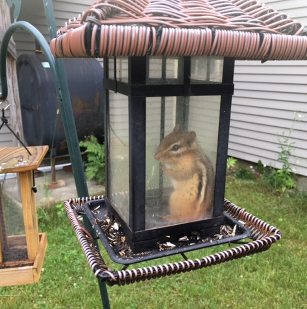 Madeleine Love of New Gloucester said this chipmunk got into the bird feeder through a broken plastic panel that bent inward, but not out. Fortunately, she saw the chipmunk's predicament and let it loose.