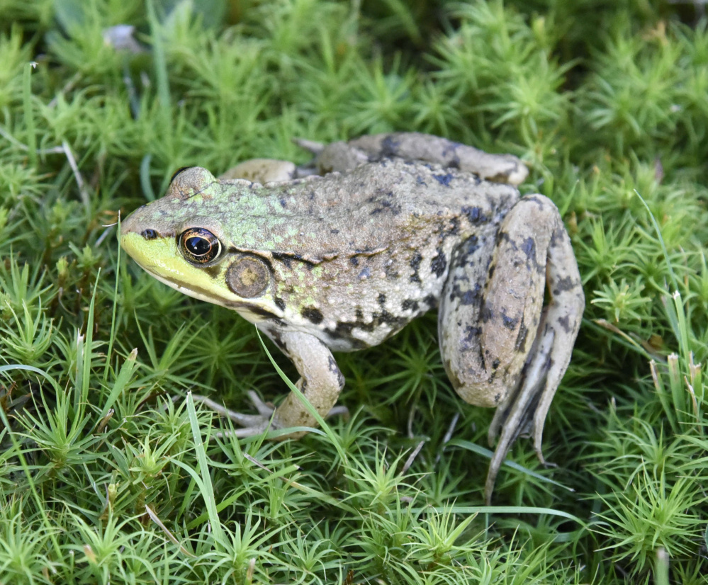 George Kostovick of Harrison spotted this toad hunting in the moss.