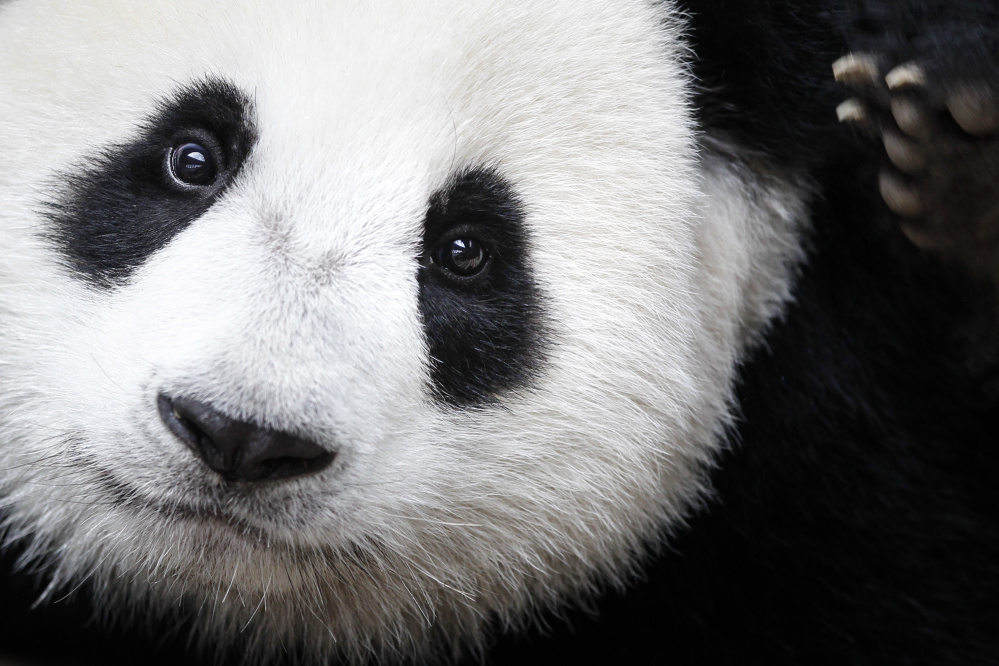 Giant pandas increased in the wild in southern China from 1,596 in 2004 to 1,864 in 2014, according to the International Union for Conservation of Nature.