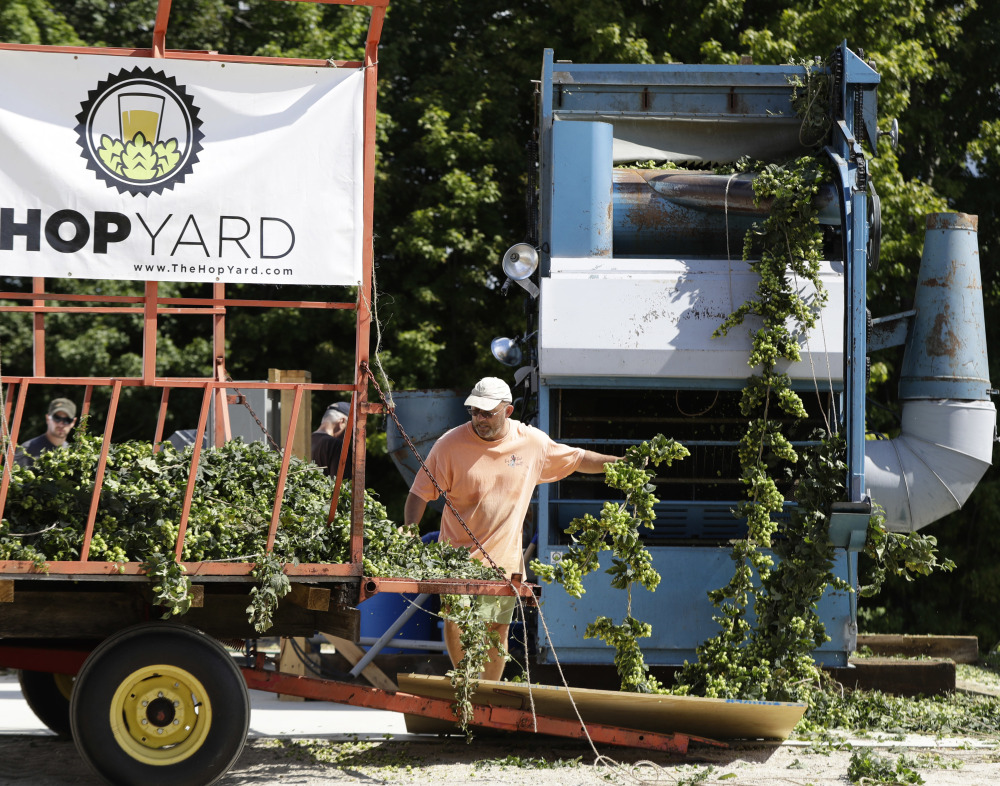 Charlie Hamblen feeds hops into a machine that strips the flower from the plant at his farm in Gorham. A thirst for hoppy beers has pushed production into nontraditional spots like the Gorham farm.