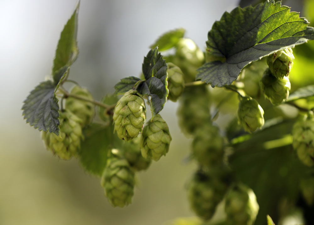 Ripe hop flowers hang from hop plants at the Hamblen Farm in Gorham. Hops are used in brewing beer to give the beverage it's bitter flavor.