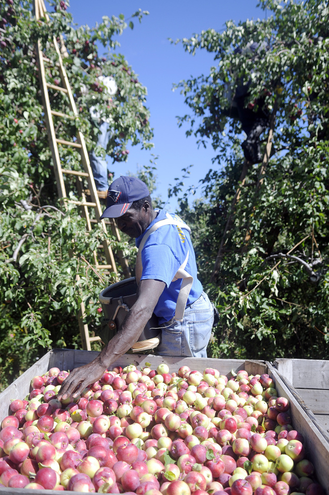 Owen Elliott sorts Poly Red apples he picked Monday at the Cooper orchard in Monmouth. The foreman of a crew of Jamaican harvesters said the early crop is abundant but a little rain wouldn't hurt, either.