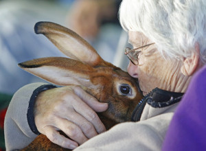 Nancy Clem of Hinsdale, N.H., snuggles with Kami, her 5-month-old Belgian hare, which won second place Sunday, the first day of the Cumberland County Fair. Kami's sister, Ruby, got first place.
