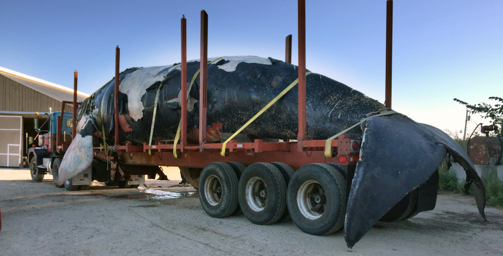 The carcass of an endangered right whale found floating off Boothbay Harbor sits Sunday in a tractor-trailer that transported it from the Portland waterfront to Benson Farm in Gorham, creating a bit of an overnight spectacle in the streets along the way.