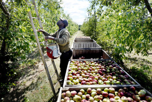 Devon Wright, 53, of the Parish of Manchester, Jamaica, sets up his ladder while picking apples at Giles Family Farm in Alfred.