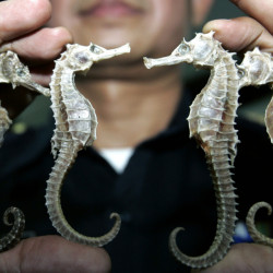 A Thai customs official shows confiscated seahorses during a news conference in Bangkok. Thailand, the biggest exporter of seahorses, is suspending trade in the animal.