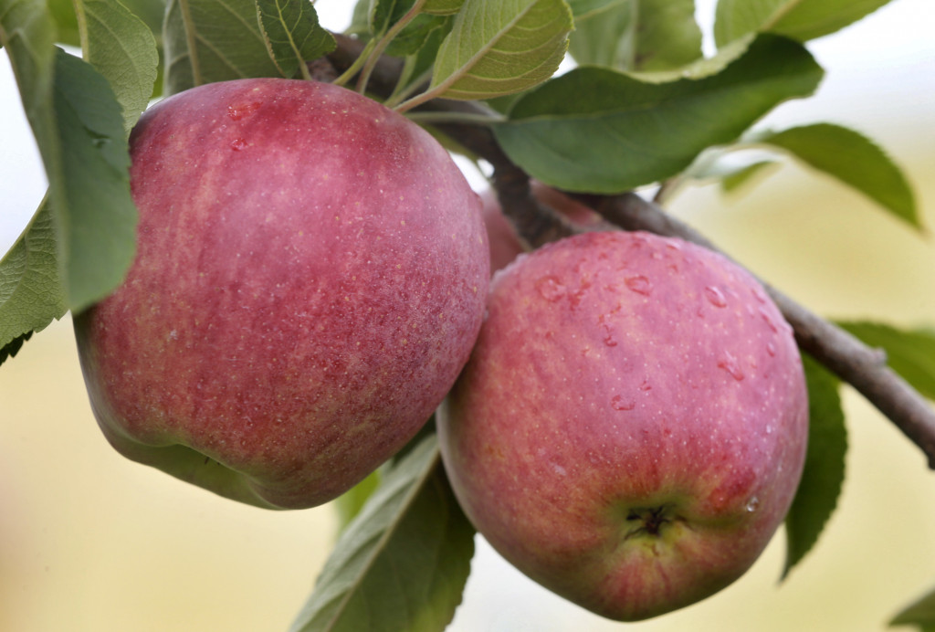 Red Delicious apples are among the fruits still producing as prime produce season winds down.    Ginger Perry/The Winchester Star