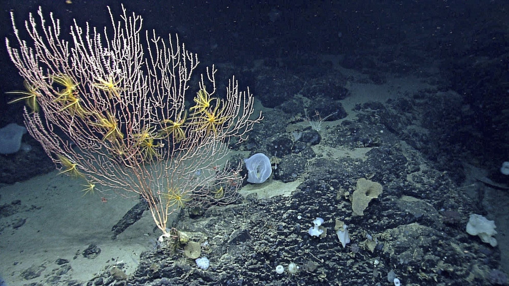 Corals growing on Mytilus Seamount off the coast of New England in the North Atlantic Ocean.