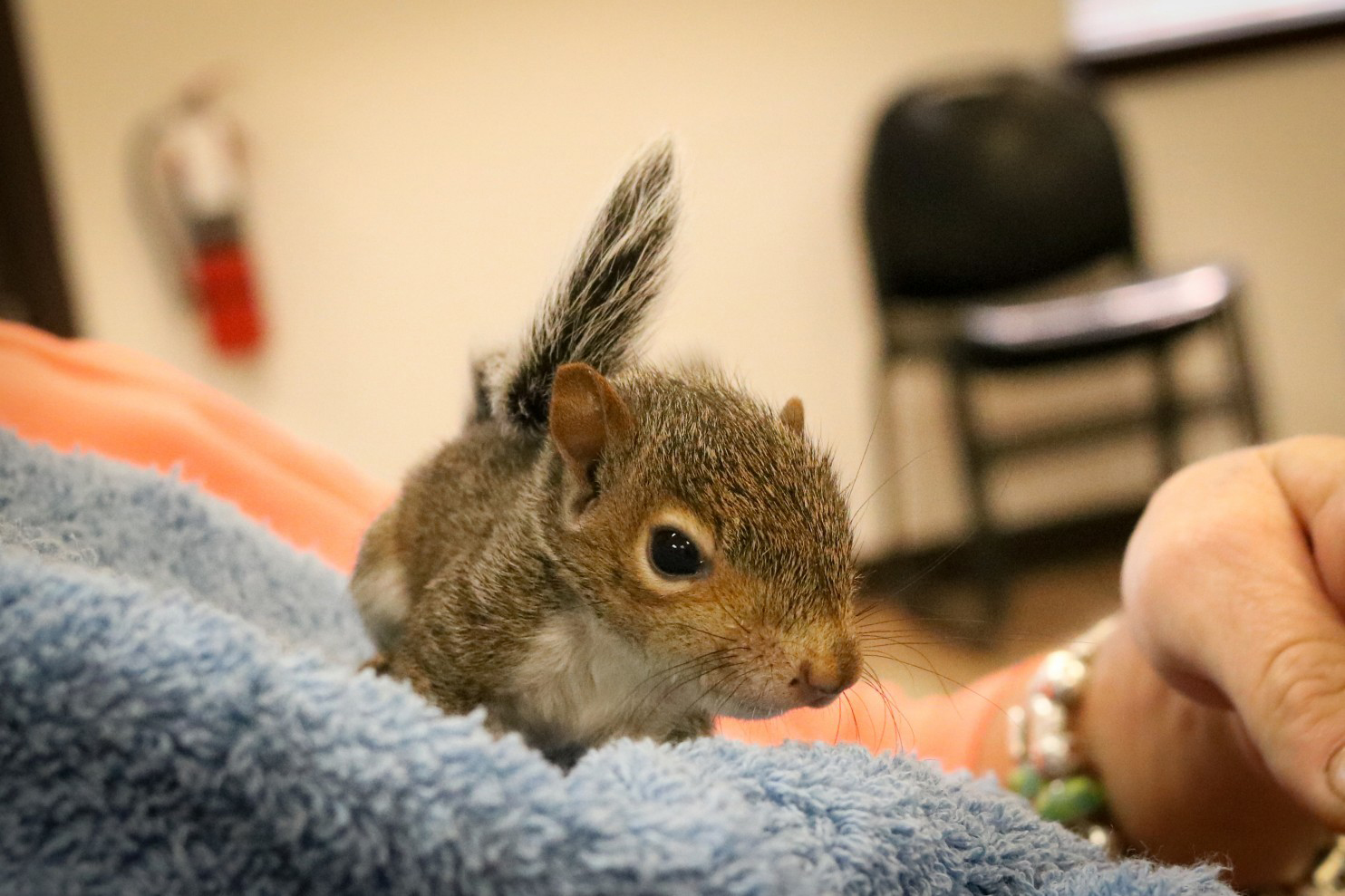 "In their rehab process the rescued squirrels are given antibiotics, put in incubators and given a mix of food, including trail mix, peanuts and ""rodent chew"" – a mix of vitamins and minerals. Photo courtesy of Evelyn's Wildlife Refuge via The Washington Post"