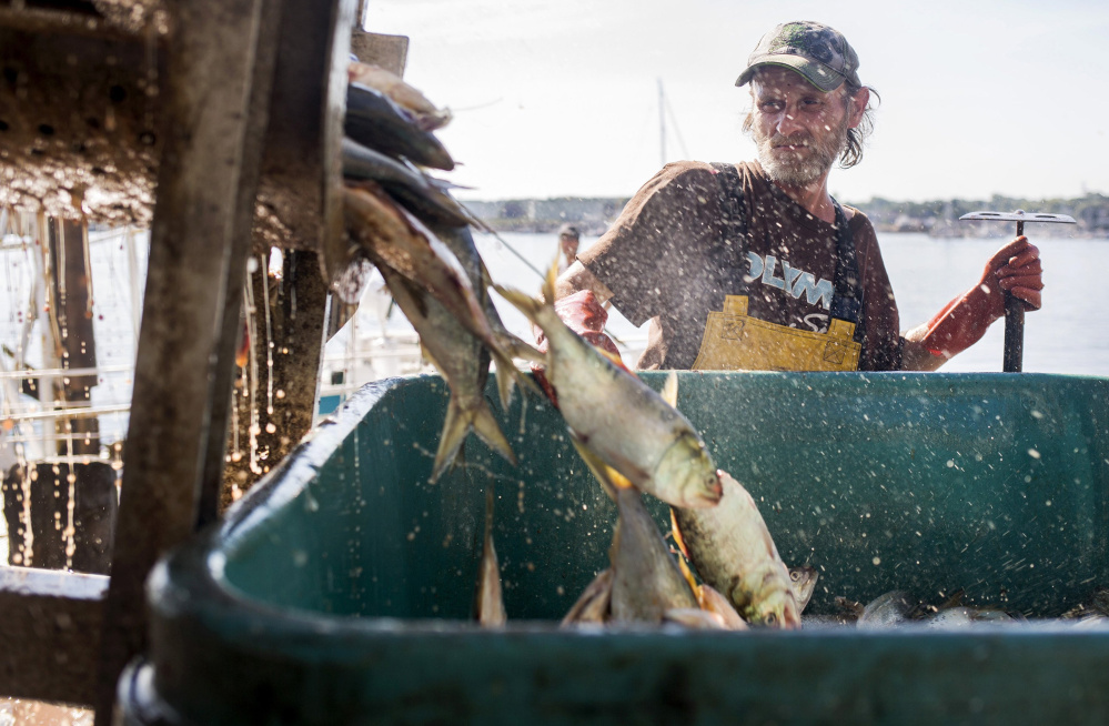 John Norwood unloads menhaden, also called pogies, in August at Coastal Bait on the Portland waterfront. Maine voted with the majority Wednesday as the menhaden board decided to raise the annual catch quota by 6.5 percent.