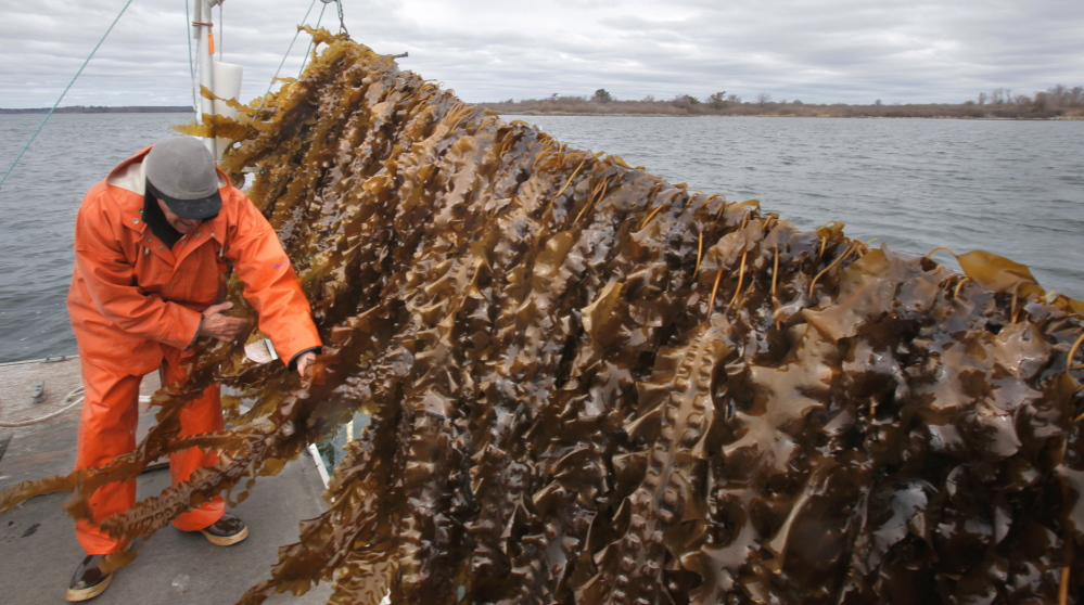Tollof Olson of Ocean Approved, a commercial kelp farm in Casco Bay, looks over seaweed he is growing in the waters off Chebeague Island in 2014. The company celebrated the state's OK to convert the site into a 10-year lease.
