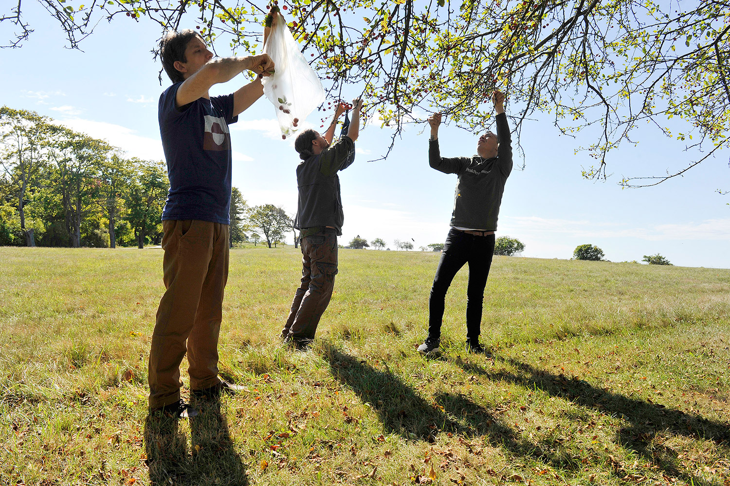 Vinland owner David Levi, left, joins Conor Quinn and Inu Heglund to pick crab apples during a foraging trip Monday morning in Portland.