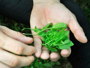 A handful of sheep sorrel gathered on Monday's foraging trip in Portland.