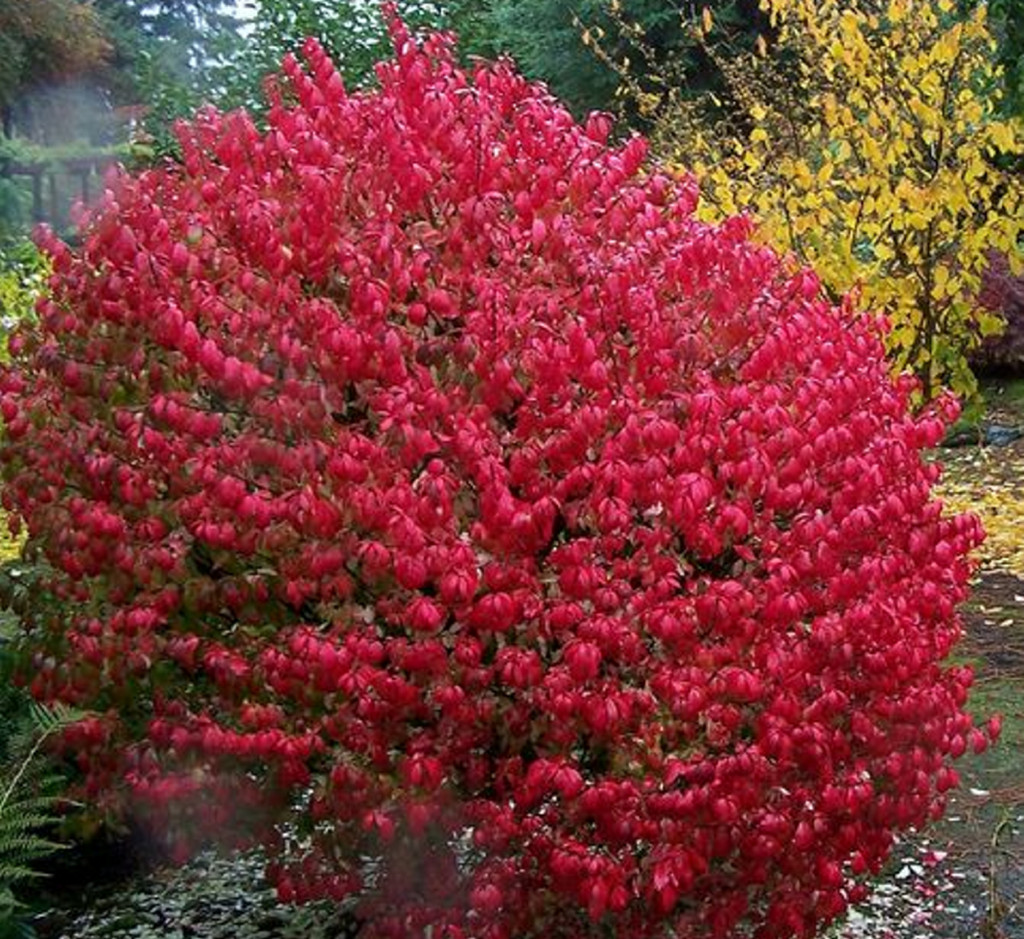 Euonymus alatus, or burning bush, spreads rapidly and easily outcompetes native species. Shutterstock.com
