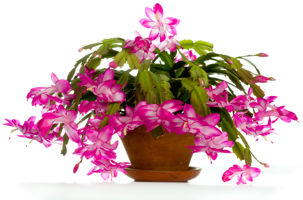 Christmas Cactus An Easy Plant To Grow That 39 S Ready For