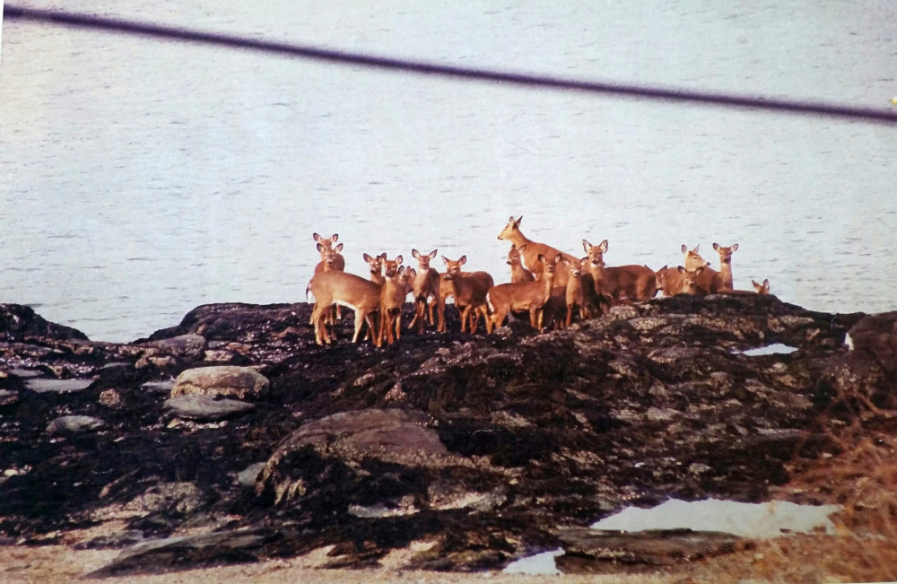Portland's annual hunt started in 2000, when Peaks Island became overrun with deer.