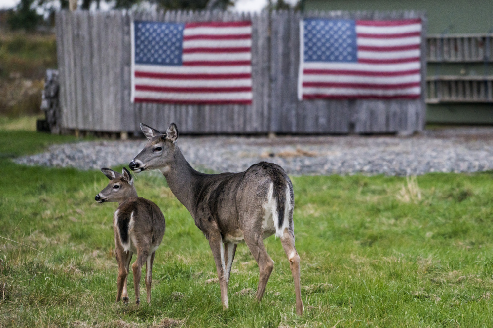 Two white-tailed deer stand in the front yard of a home in Eastport on Oct. 18.