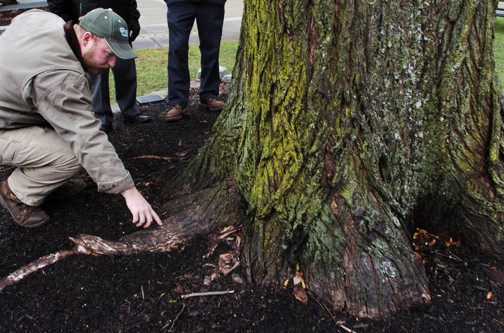 """Noah Tucker of Bartlett Tree Experts examines a spot where """"Ellie"""" was injected with material to help the tree resist Dutch elm disease."""