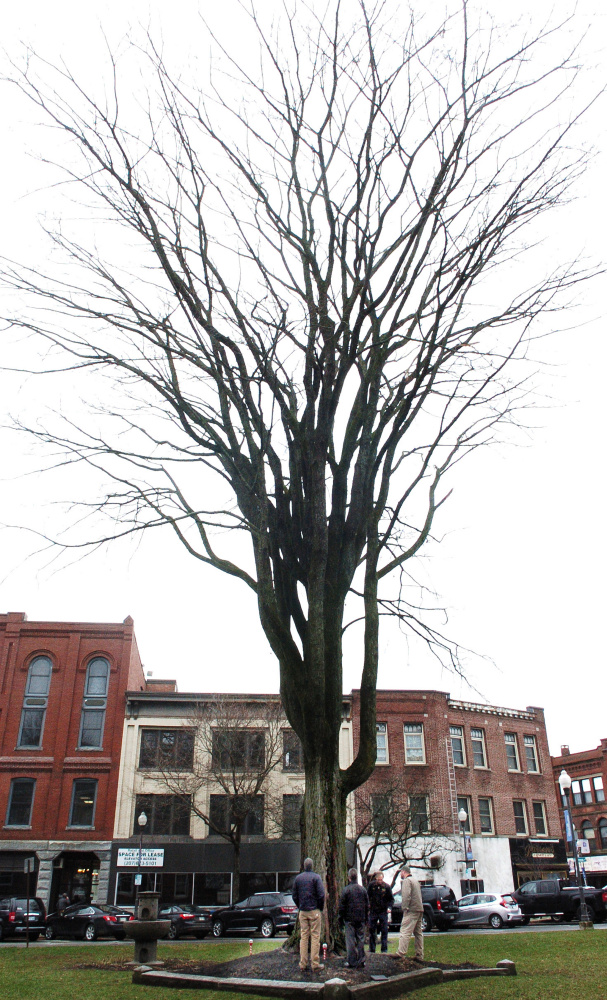 """Waterville officials gather around """"Ellie"""" on Wednesday to discuss the 75-foot-tall elm tree's health. The tree, estimated to be 120 to 150 years old, is in Castonquay Square."""