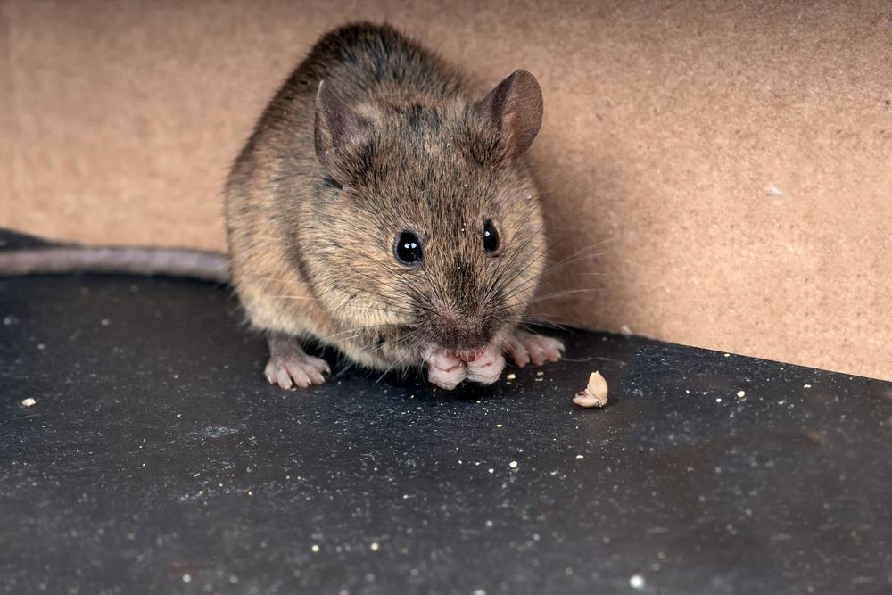 Rodents can enter your home through holes smaller than a dime.