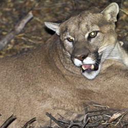 Runner attacked by mountain lion in Colorado kills it in self-defense cd846acaf3