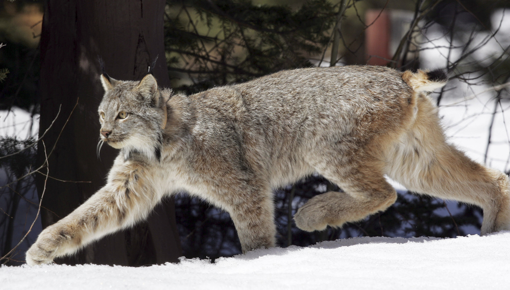 Two Canada lynx were killed illegally in Maine in November, and rewards are being offered for information leading to the convictions of those responsible.