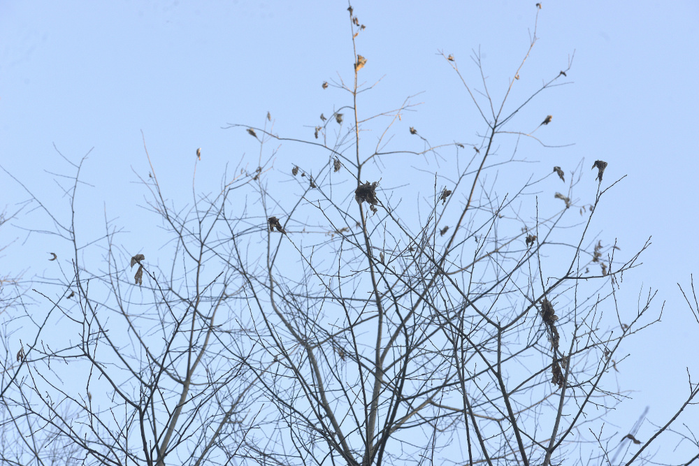 Each of the leaf clusters seen in the trees is actually a browntail moth nest.