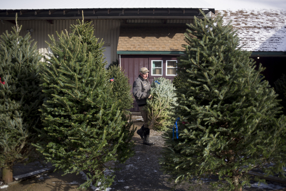 Stephen Gile stands Christmas trees at the Giles Family Farm store in Alfred.