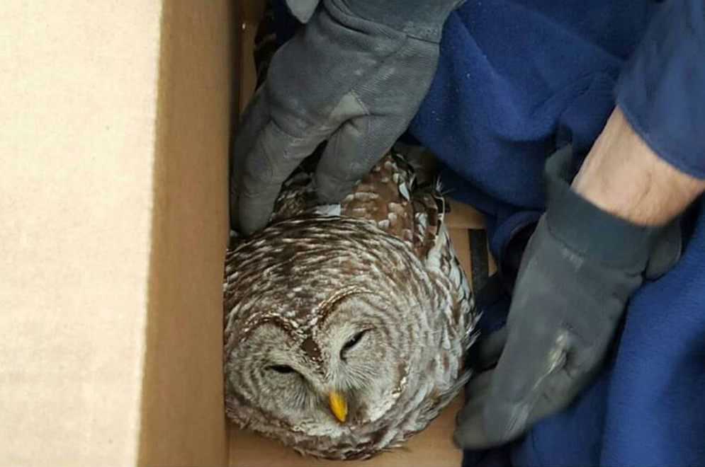 State Police Trooper Bernard Brunette rescued an owl Thursday morning that appeared to have been struck by a vehicle on Interstate 95 in Palmyra. The bird later died.