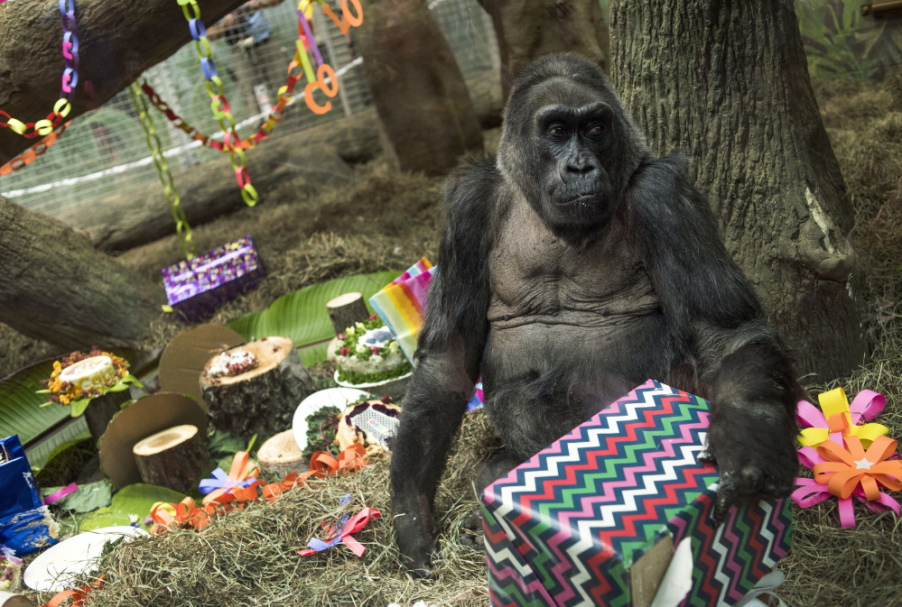 A gorilla named Colo opens a present in her enclosure during her 60th birthday party at the Columbus Zoo and Aquarium on Thursday in Columbus, Ohio. Colo was the first gorilla in the world born in a zoo and has surpassed the usual life expectancy of captive gorillas by two decades. Associated Press/Ty Wright