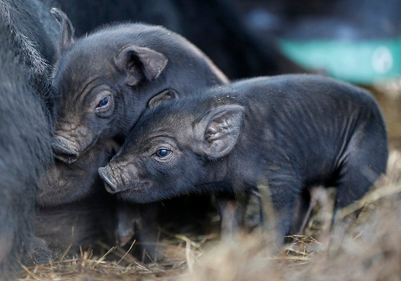 Three-day-old mulefoot piglets nuzzle their mother at Dogpatch Farm.