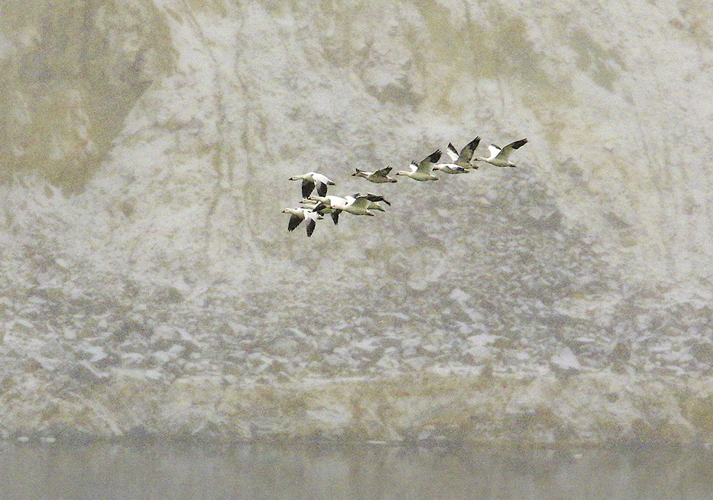 """Snow geese fly along the bank of the Berkeley Pit's toxic waters, in Butte, Montana. Roughly 10,000 geese landed in the 700-acre pit at the end of November, turning the water """"white with birds,"""" said a mine official with Montana Resources. <em>Walter Hinick /The Montana Standard via AP</em>"""