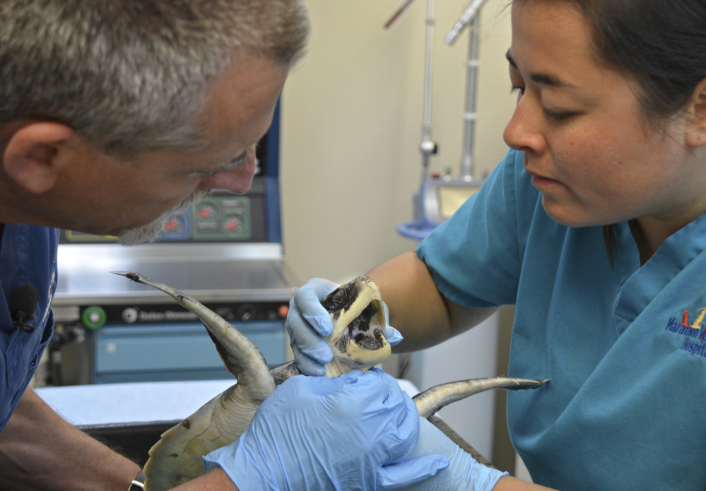 Veterinarians Doug Mader and Helen Ingraham examine a critically endangered Kemp's ridley sea turtle flown from New England to the hospital in Marathon, Fla.