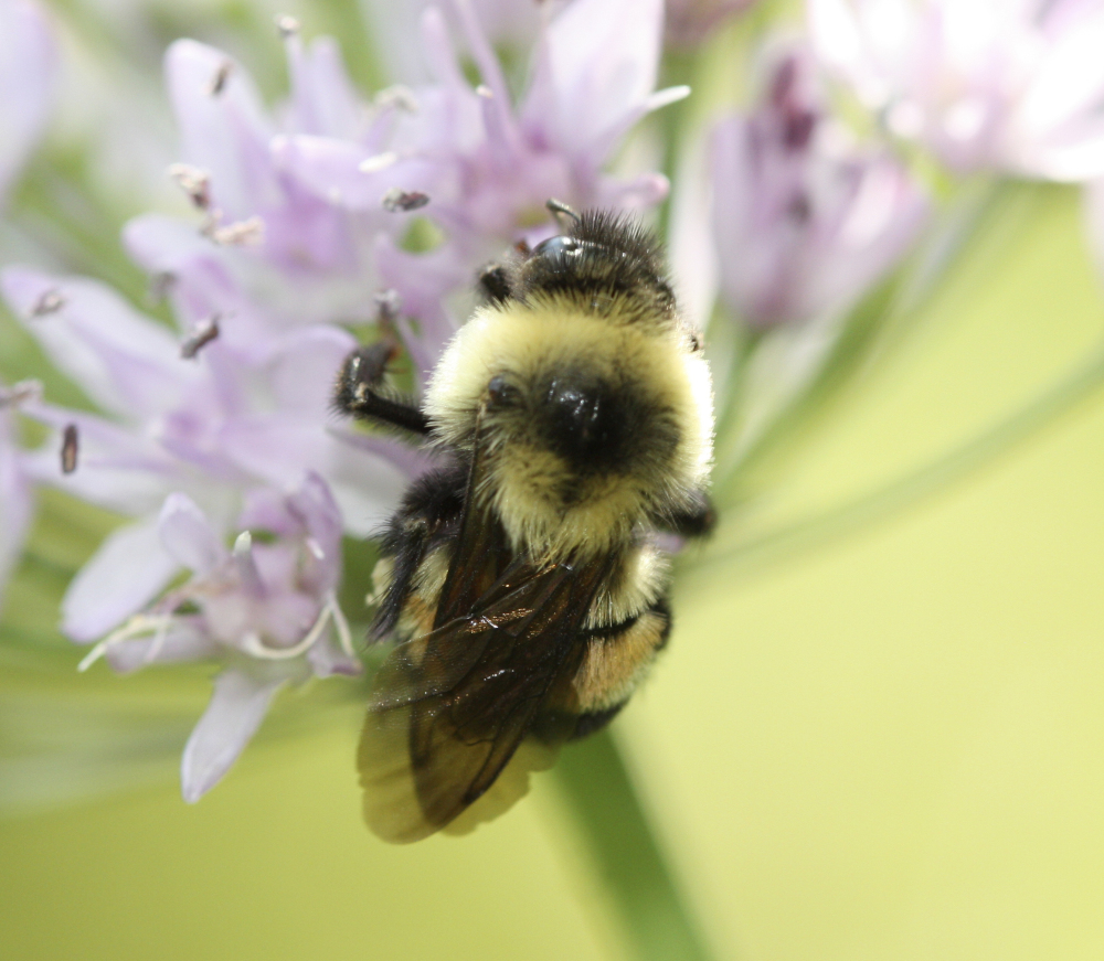 Formerly abundant in the Midwest, the rusty patched bumble bee is hard to find.