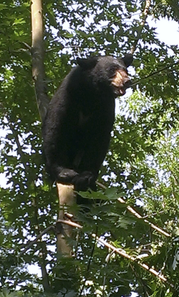 A black bear sits in a tree in Hartford, Conn., in 2015. The bear was tranquilized and relocated. State officials said there were about 6,700 black bear sightings in Connecticut 2016, a 49 percent increase over the previous year.