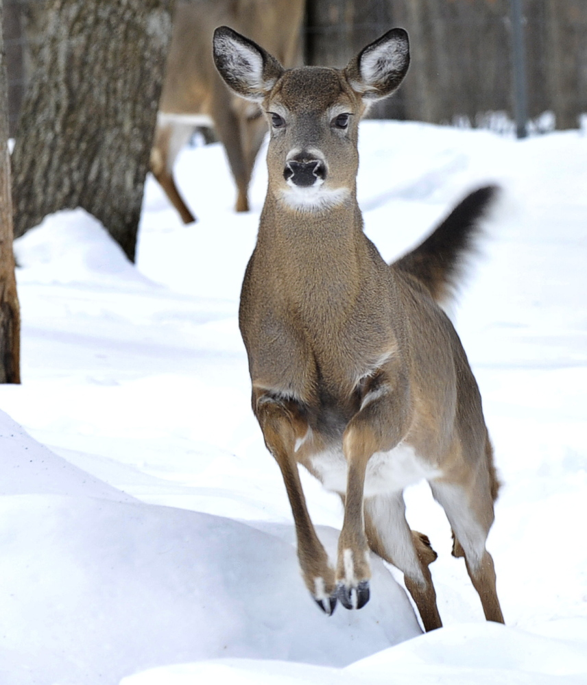 Conditions are favoring deer as the winter progresses.There's abundant food, and reduced snow depth allows them to avoid predators.