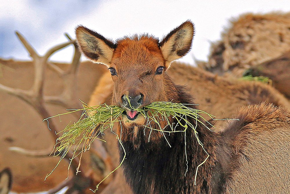 Without human intervention, elk, deer and other grazing animals face high mortality rates in the West this winter. This Oregon elk savors a mouthful of alfafa brought to its herd by wildlife officers.