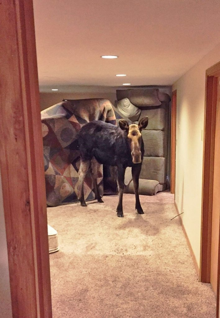 This moose tumbled down a window well and crashed into the carpeted basement of a home in Hailey, Idaho.