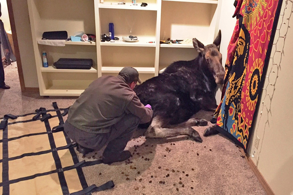 An Idaho Department of Fish and Game worker prepares a sedated moose to be removed from a Hailey, Idaho, basement.