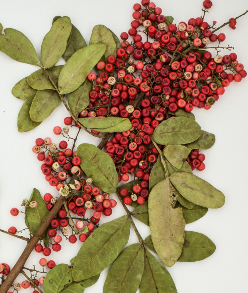 Researchers say the red berries of this weedy species, the Brazilian peppertree, contain an extract that can disarm a deadly superbug. MUST CREDIT: Emory University.