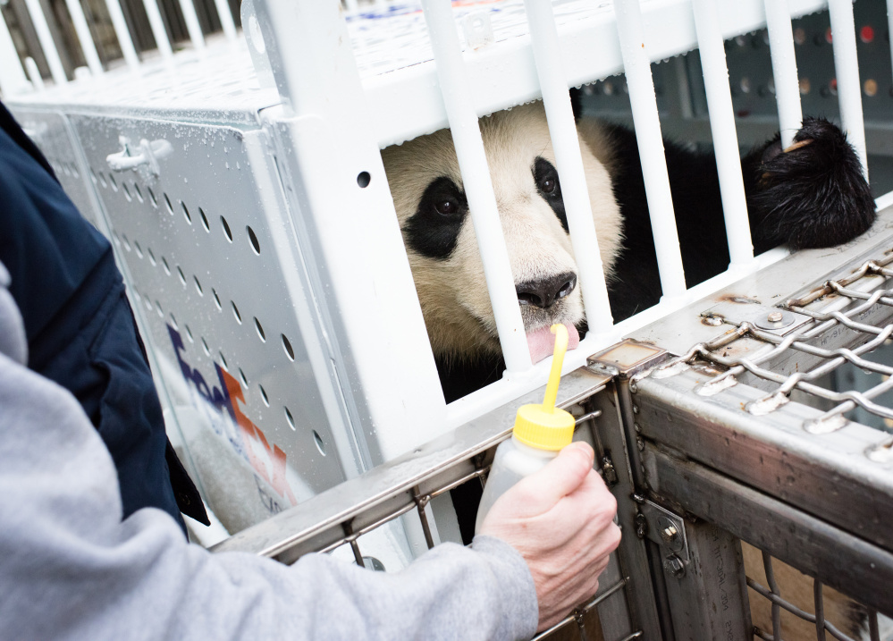 A zookeeper helps Bao Bao get comfortable with the shipping crate that she will ride in on her journey to China.