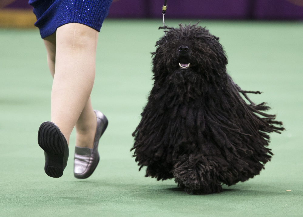 Preston the puli is guaranteed to get off to a good start when the show begins Monday. He's the only puli entered, assuring him a spot in the herding group final later that night.