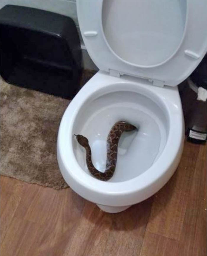 Texas Boy Finds Rattlesnake In Toilet Then A Snake