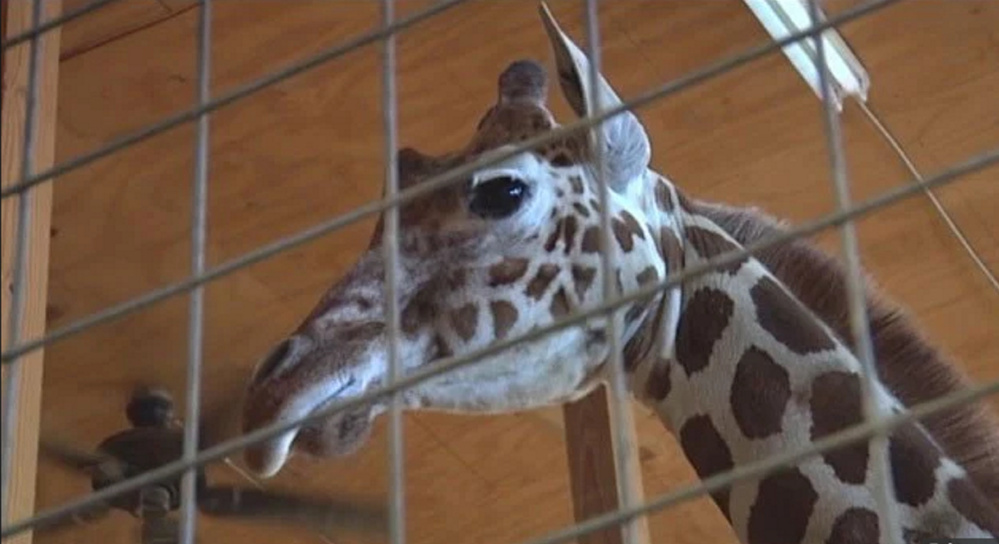 "April the pregnant giraffe became an unlikely viral star when a live streaming video of her waiting to go into labor was removed from YouTube for being ""sexually explicit."""