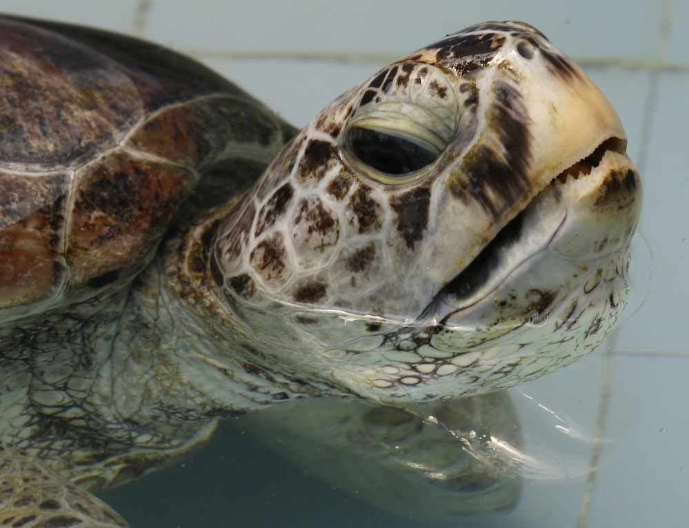 The turtle swims in a pool at Sea Turtle Conservation Center in Thailand. Veterinarians operated Monday, removing nearly 1,000 coins from the endangered animal.