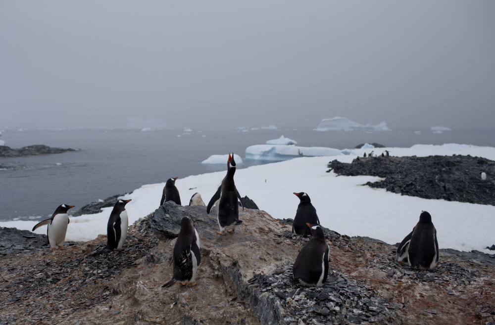 Gentoo penguins stand on a rock near station Bernardo O'Higgins, Antarctica. A new study postulates that mitigating climate change can slow ocean acidification, giving species more time to adapt or migrate.